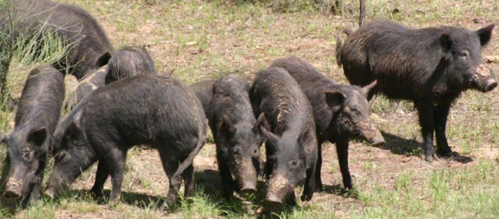 feral-pigs-on-ki-img