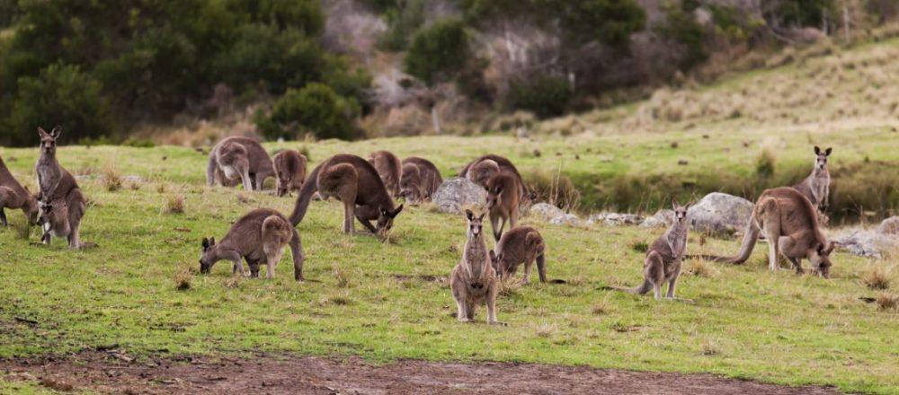 kangraroo-cull